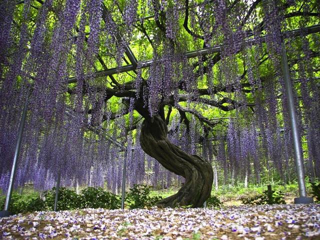 حديقة زهرة الحب في اليابان 6
