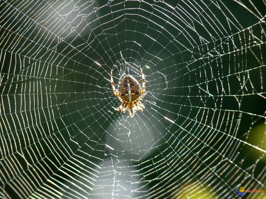 Le monde merveilleux des insectes Araignee-et-sa-toile-visoflora-17737