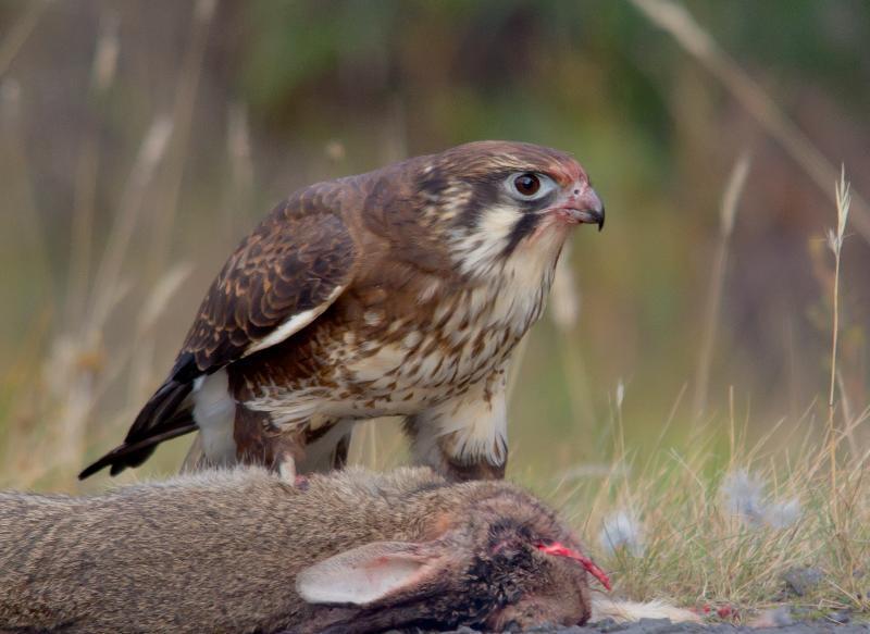 Falconiformes. sub Falconidae - sub fam Falconinae - gênero Falco _MG_5710%2B%2528Medium%2529