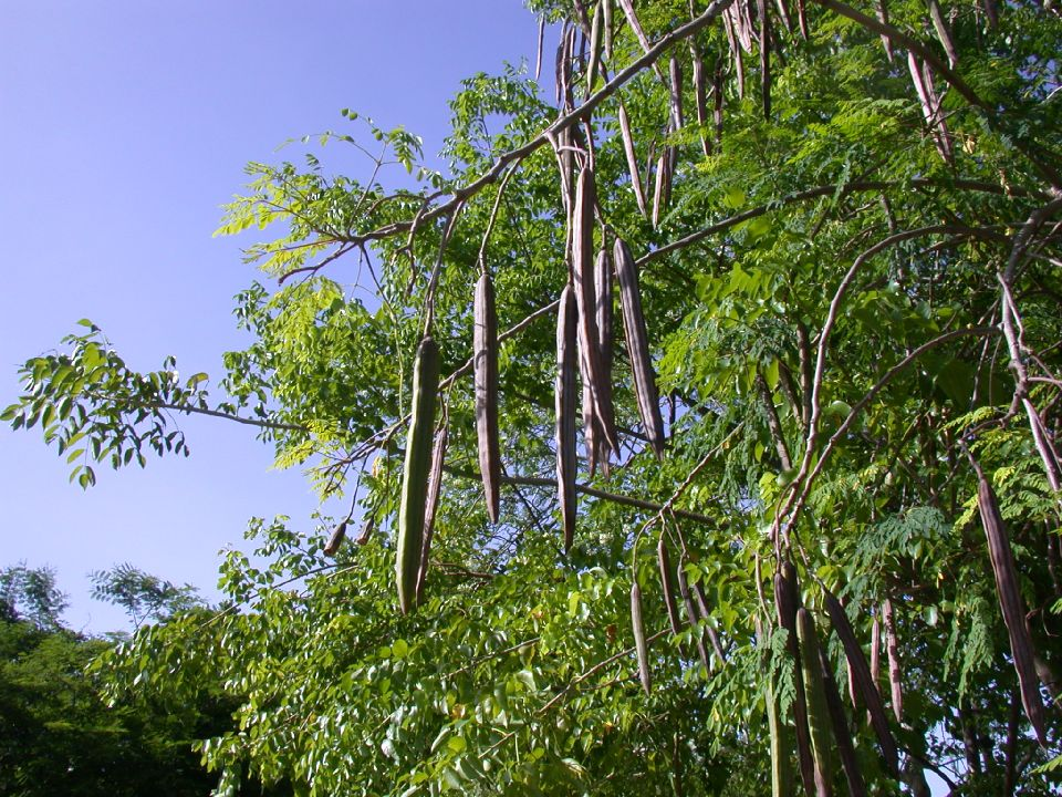 KI PLANT SA YE? Moringa-Oleifera