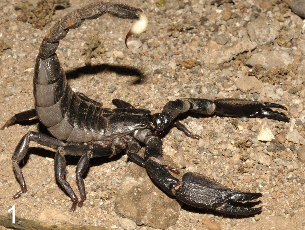 New species of Heterometrus described. H_atrascorpius_india