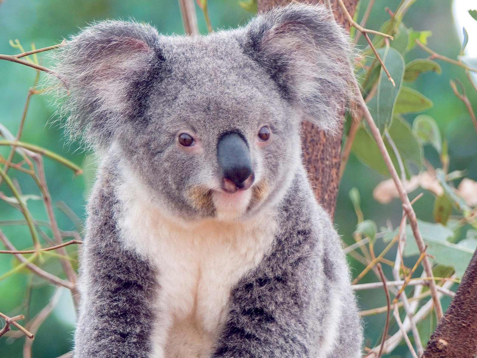 Animales, todas las especies Koala1