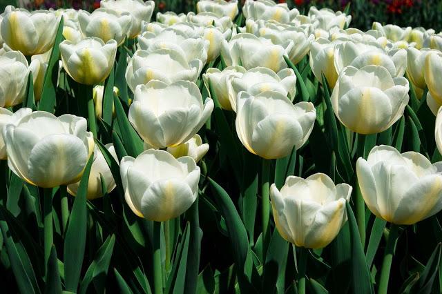 أزهار التيوليب: عالم من الجمال والأناقة White_tulip_flower_20