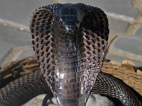 [JSA] Les épreuves  Black-cobra3