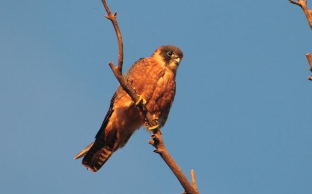 Falconiformes. sub Falconidae - sub fam Falconinae - gênero Falco - Página 2 028a
