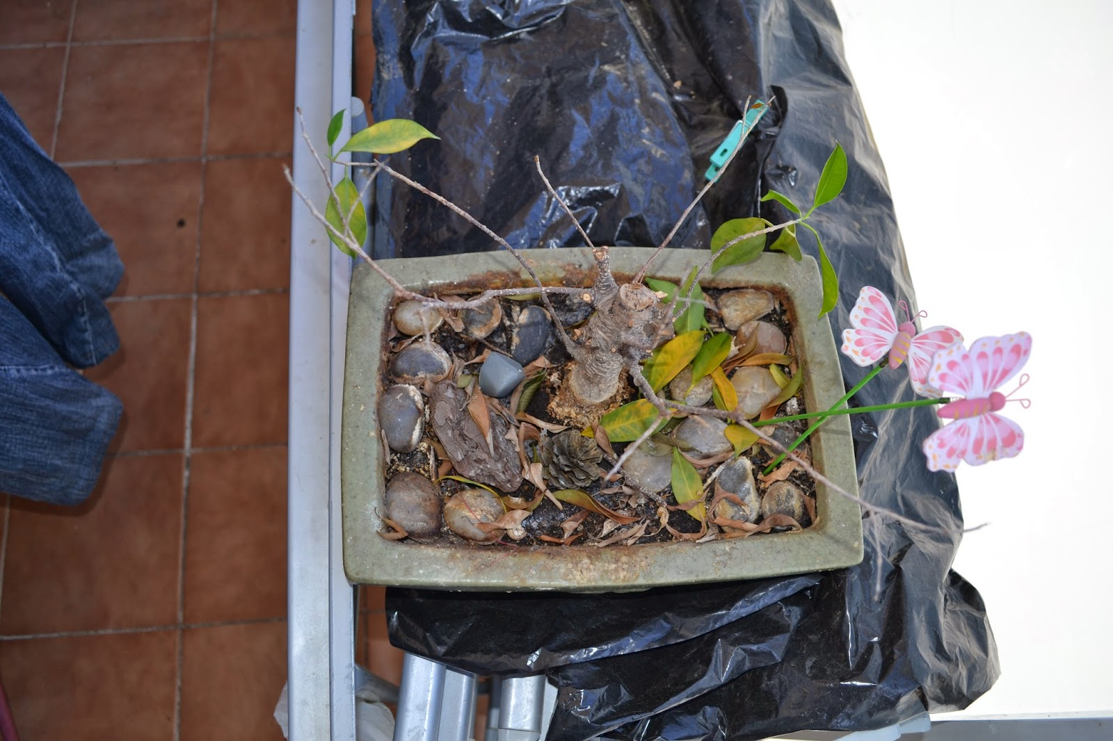 Recuperar urgente un Ficus Retusa DSC_0078