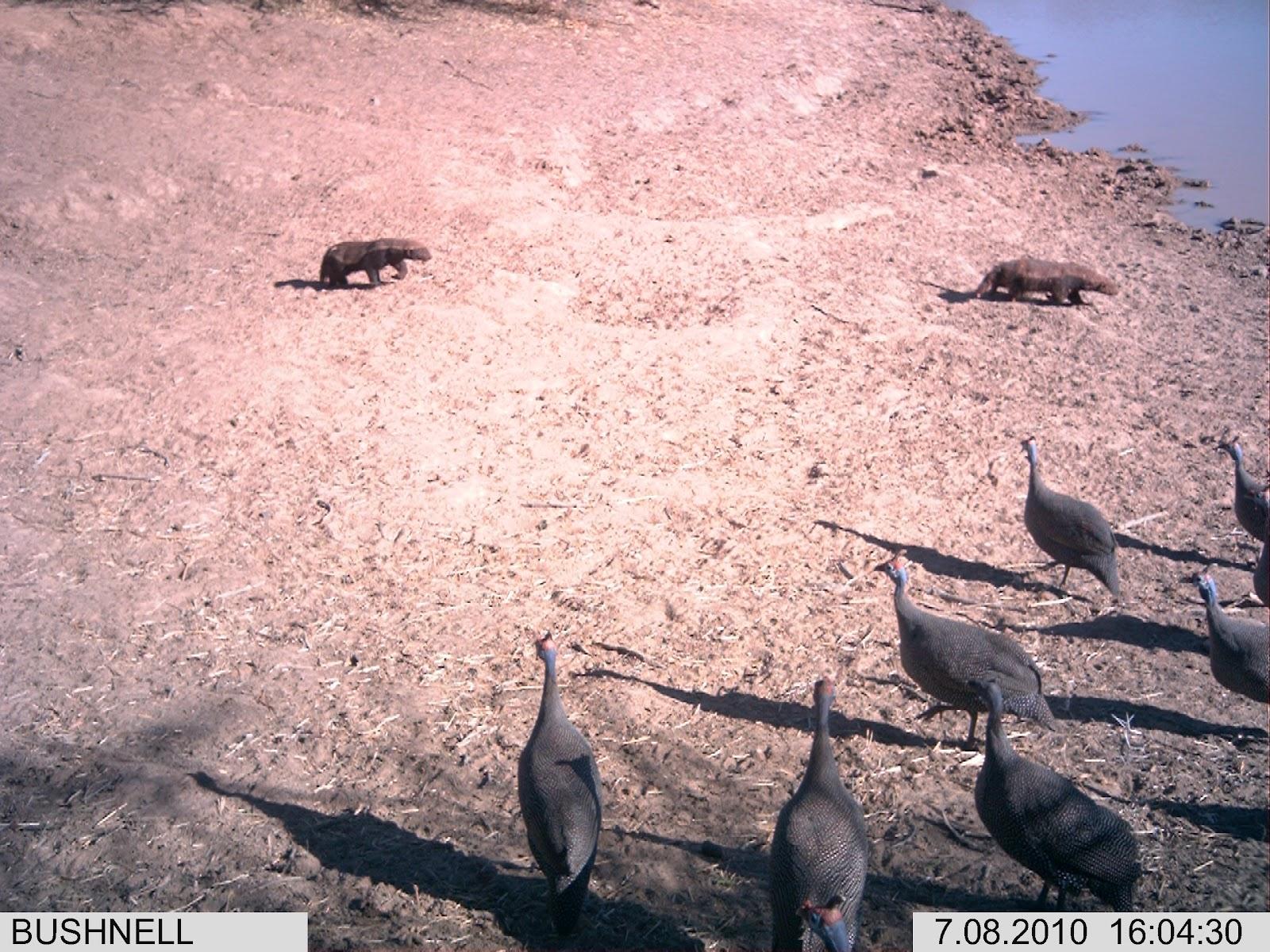 Ratel ou Texugo do Mel (Mellivora capensis) 20100708-160432-PicnicN