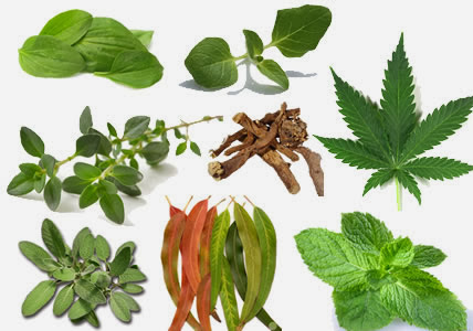 15 Plants and Herbs That Can Boost Lung Health, Heal Respiratory Infections And Even Repair Pulmonary Damage 15herbslungs-1