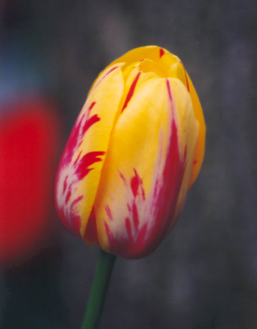 أزهار التيوليب: عالم من الجمال والأناقة Tulip-blossom