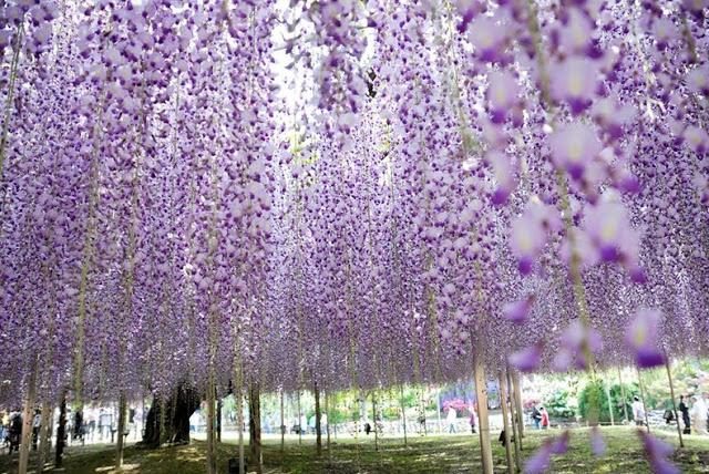 حديقة زهرة الحب في اليابان 3
