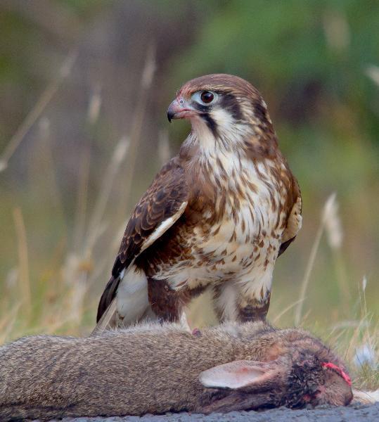 Falconiformes. sub Falconidae - sub fam Falconinae - gênero Falco _MG_5705%2B%2528Medium%2529