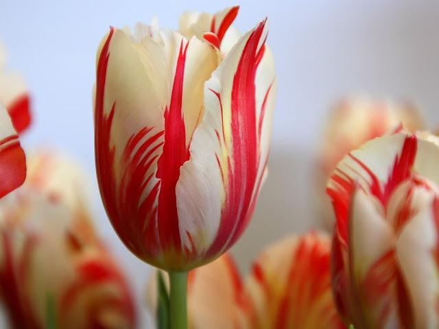 أزهار التيوليب: عالم من الجمال والأناقة Red-Striped-Tulip