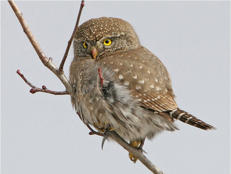 ما سبب التشائم من طائر البوم?! Northern-pygmy-owl--tom-munson