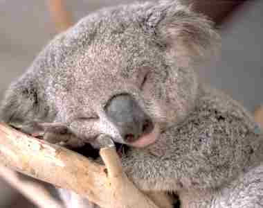 ranne vstavanie Koala
