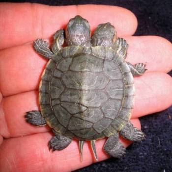Naissance de jumeaux marginata en Italie Freak_Twin_Turtle