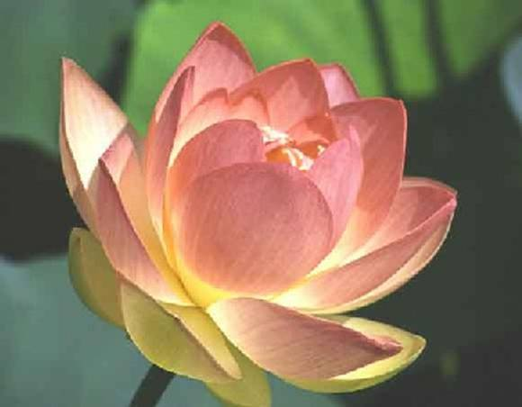 Greetings Lotus-flower-1000