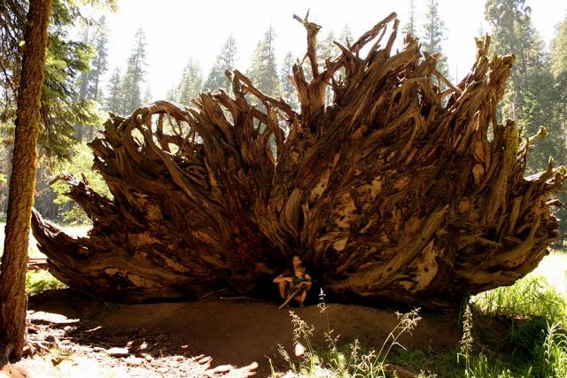 مخلوقات تعيش لأكثر من 3000عام Sequoia_02666177dd5b6e_o