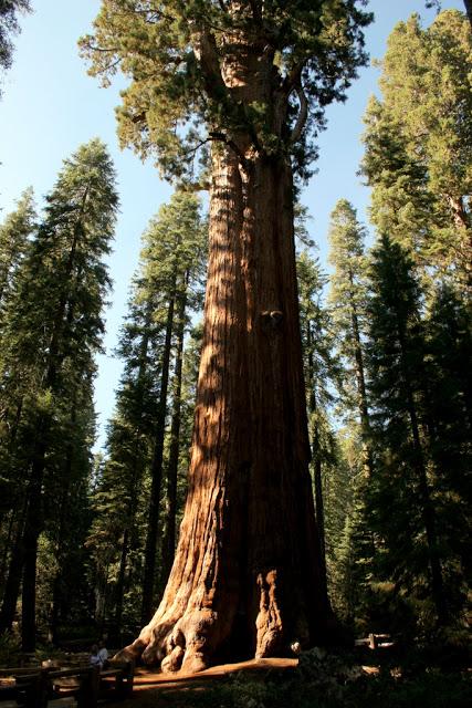 مخلوقات تعيش لأكثر من 3000عام Sequoia_02666405be69b0_o
