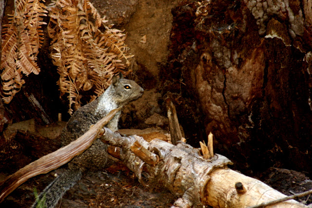 مخلوقات تعيش لأكثر من 3000عام Sequoia_026661251c02dc_o