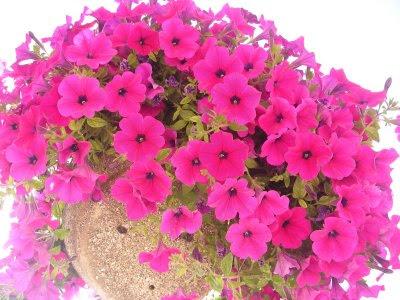 BUSQUEMOS HERMOSAS FLORES - Página 8 Foto_flores