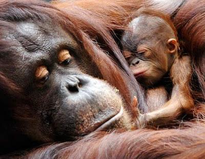 Les macs de la mignonnitude du règne animal Ap_orangutan_081027_ssh