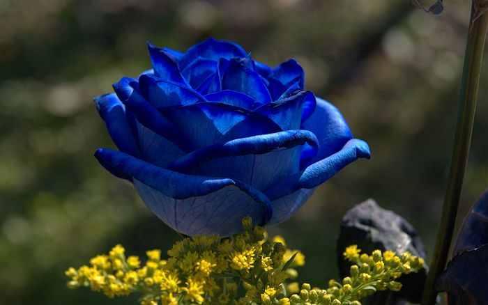 Cvetna oaza - Page 5 Blue-roses-04605_high