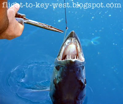 Antes de meter las manos en las fauces de un pez dentado para liberar señuelo...  Barracuda-fishing