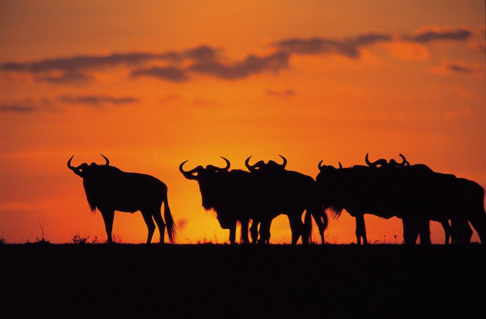 .. un viaje a la sabana africana ... %25C3%2591us%2Bal%2Batardecer%2Ben%2Bla%2Bsabana%2Bafricana