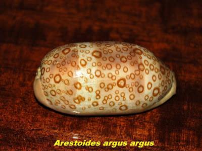 அழகான கடல் சங்குகள் - புகைபடங்கள்  Sea-shells-08