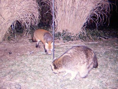 Raposa vermelha VS Bengal cat Fox-coon-together-2