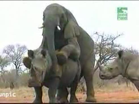 no hay amor imposible Elefante-cogiendose-a-un-rinoceronte_imagenGrande