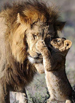 Vienkārši jaukas, skaistas un interesantas bildes par jebko Papa-leon-bebe-leoncito-animales-libertad-tierralibredigital