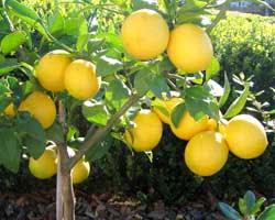 ஊக்கம்,உற்சாகம்,புத்துணர்வு தரும் பழங்கள்- (புகைப்படம்) Lemon2