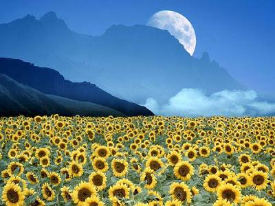 POEMAS SIDERALES ( Sol, Luna, Estrellas, Tierra, Naturaleza, Galaxias...) - Página 4 Girass%C3%B3is