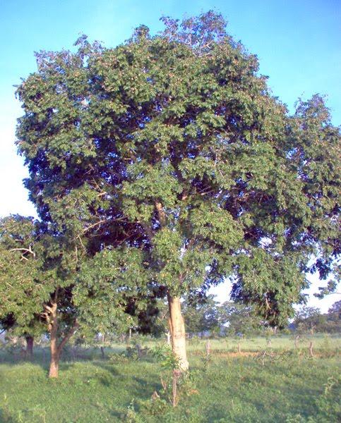 Árvores - Nossos baixos antes de tomar forma - Página 2 Barueiro