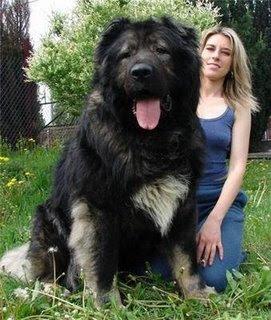 ANIMALES - Página 2 Kavkazska%25C3%25AFa%2BOvtcharka%2BCAUCASIAN%2BSHEPHERD%2BDOG3