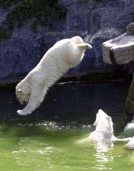Urso pardo vs Urso polar - Página 2 Polar_Bear_Jumping