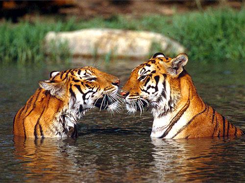 Vidéo pikadesque^^. Tigres-1