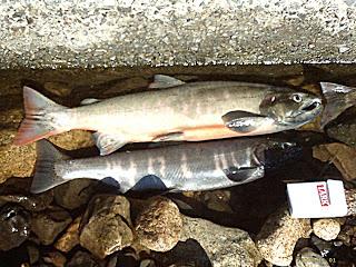 Razones del porqué el Lago Biwa en Japón tiene el Record Mundial de Lobina / Bass por José Manuel López Pinto Biwa_Trout(Lake_Biwa-JP)