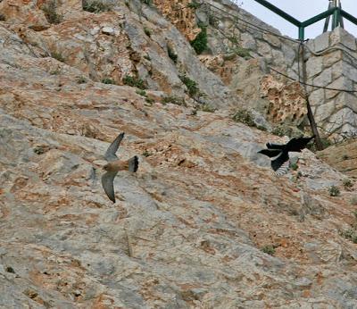 Falconiformes. sub Falconidae - sub fam Falconinae - gênero Falco - Página 2 Vraxoki_karak