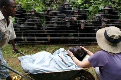 Grands singes, petits singes Chimpanz%C3%A9-Dorothy-1