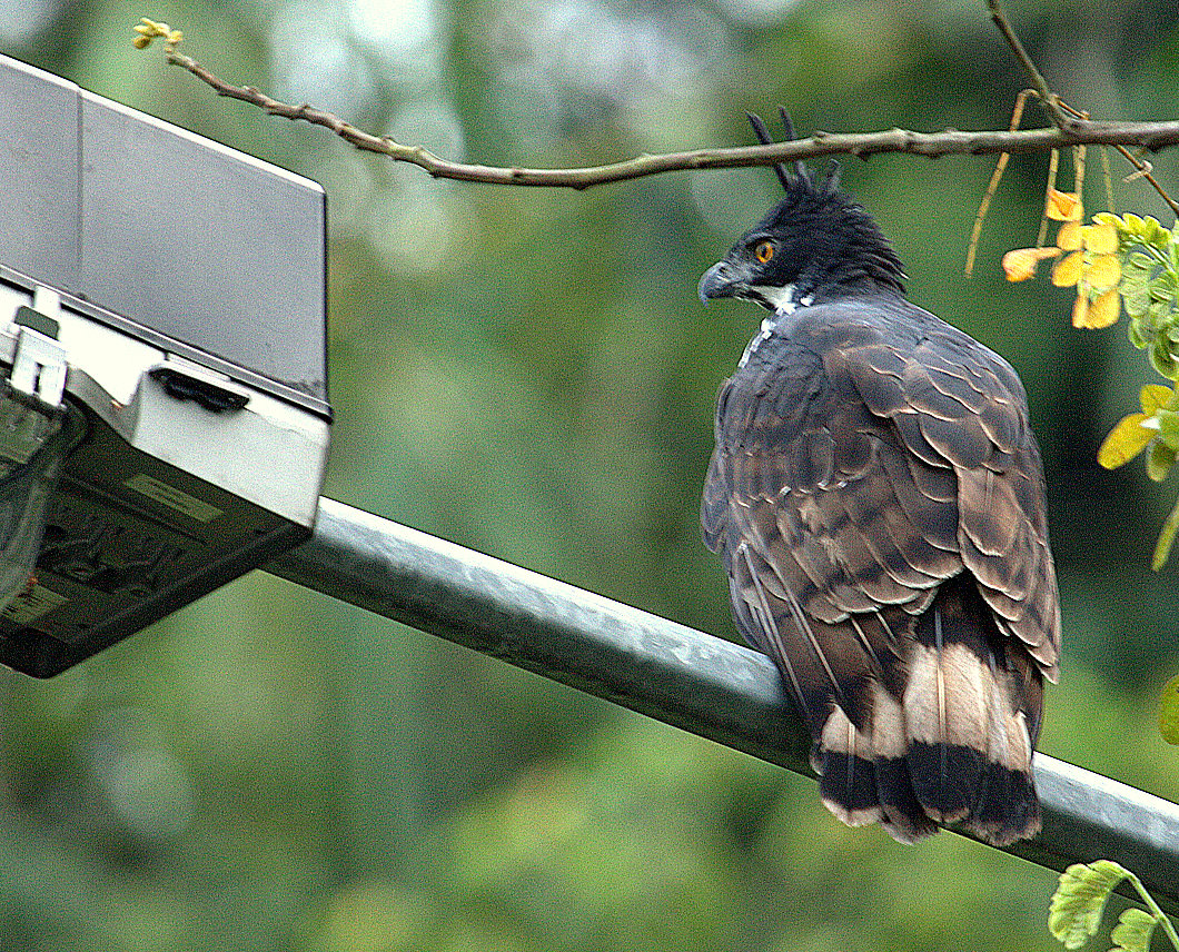 Falconiformes. Família  Acciptridae - Subfamília Buteonidade- Gaviões de penacho. genêro SPIZAETUS _MG_0014.jpg1