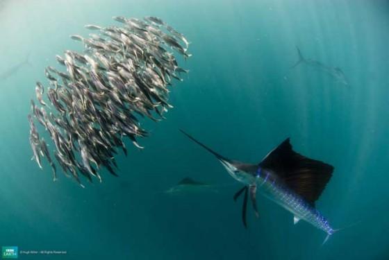 வண்ணமயமான டாப் 10 – உயிர்கள் 9-lifeis-sailfish-560x375
