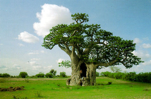 Установить связь с деревом Baobab-2