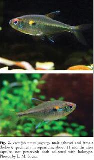 Nova espécie de Hemigrammus Hyinyang2