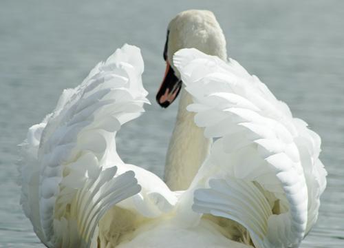Les oiseaux : la passion de Marylou - Page 3 Cygne