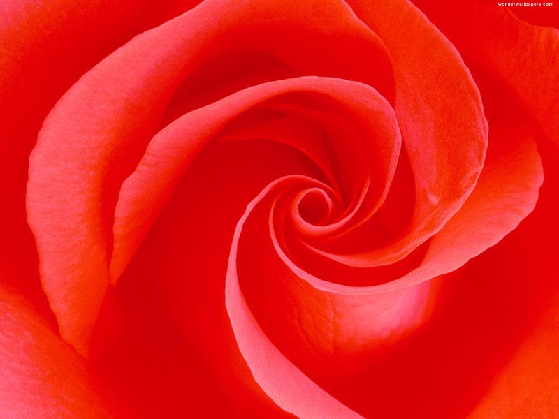 வால்பேப்பர்கள் ( flowers wallpapers ) 01 - Page 6 Flower_wallpapers_04_800_600