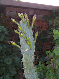 newbie here....what cacti is this???? 102_8685
