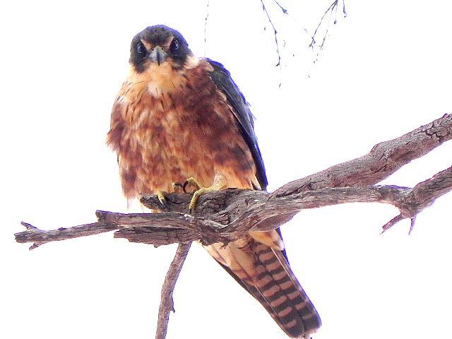 Falconiformes. sub Falconidae - sub fam Falconinae - gênero Falco - Página 2 Falcon