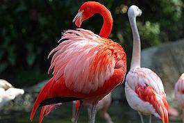Интересные факты о птицах 265px-Lightmatter_flamingo